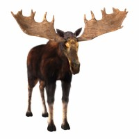 3D digital render of a male moose isolated on white background